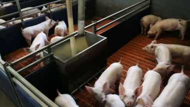 Piglets in the pen — Stock Video