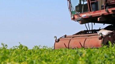 Season for harvesting peas — Stock Video