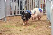 Pigs Race At Georgia State Fair — Foto de Stock