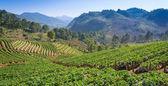 Strawberries farm at Chiangmai Thailand — Foto Stock