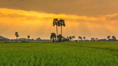 Rice Farm Landscape And Beautiful Sunbeam Time Lapse — Vídeo stock