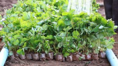 Strawberry Sprout in Farm Plant And Farmer Watering — Stock Video