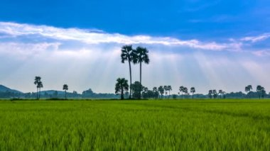 Rice Farm Landscape And Beautiful Sunbeam Time Lapse — Stock Video