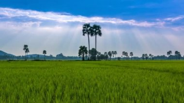 Rice Farm Landscape And Beautiful Sunbeam 4K Time Lapse (pan shot) — Stock Video