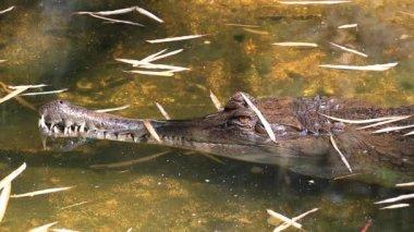Gharial (Gavialis gangeticus) In Pond — Vídeo stock