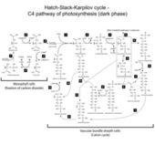 Chemical scheme of Hatch Slack Karpilov cycle — Cтоковый вектор