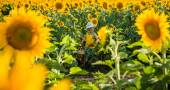 Childhood in the sunflowers — Stock Photo