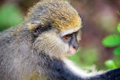 Monkey in Ghana — Stock Photo