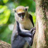 Monkey in Ghana — Stockfoto