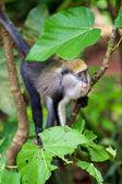 Monkey in Ghana — Foto Stock