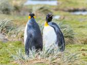 Penguins of South Georgia — Stock Photo