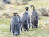Pingwiny z Georgii Południowej — Zdjęcie stockowe