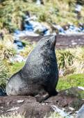 Atlantic fur seal poses for the camera. — Stock Photo