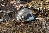 Gentoo penguin looks for some food. — Stock Photo