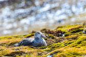 Couple of albatrosses in their nest — Stock Photo