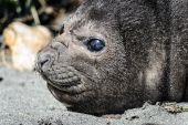 Atlantic fur seal and its cute eyes. — Stock Photo