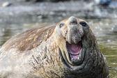 Elephant seal — Stock Photo