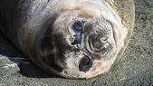 Atlantic seal looks with full eyes. — Stock Photo