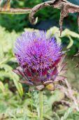 Artichoke flowering — Stock Photo
