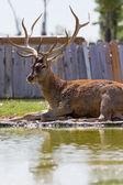 Beautiful deer — Stock Photo