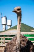 African ostrich — Foto de Stock