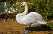 Swan white — Stock Photo