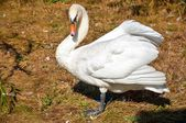 Swan white — Stock Photo