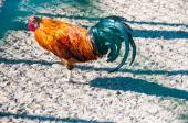 Decorative rooster — Stock Photo