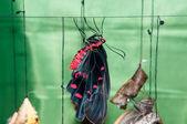 Mariposa papilio — Foto de Stock