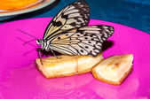 Butterfly Papilio, — Stock Photo