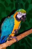 Parrot Blue-and-yellow Macaw or Ara ararauna — Stock Photo