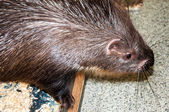 Porcupine at the Zoo — Stock Photo