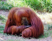 Orangutan  siesta — Stock Photo