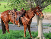 Horses tethered under the trees — Stock Photo
