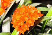 Clivia flowers blooming  on green leaves  background — Stock Photo