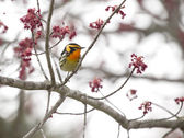 Blackburnian Warbler in a Maple Tree — Stock Photo