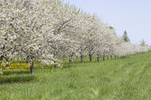 Rows of Cherry Trees — Stock Photo
