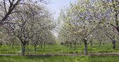Cherry Trees in Egg  Harbor — Stock Photo