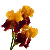 孤立的鸢尾花. — 图库照片