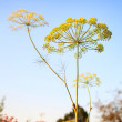 Closeup of Dill flower umbels in autumn on blue sky background. — Stock Photo #57026553