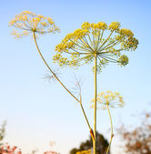Closeup of Dill flower umbels in autumn on blue sky background. — Stock Photo