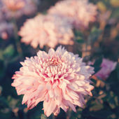 Pink Chrysanthemums flower - genus of flowering herbaceous plants with beautiful bokeh — Stock Photo