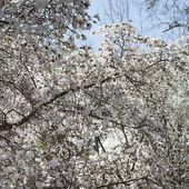 Spring. Magnolia tree in bloom on sunny day — Stockfoto