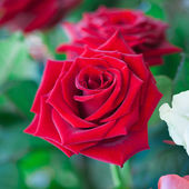 Red and white roses in garden — Stock Photo