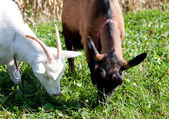 Hungry goats on a common meal — Stock Photo
