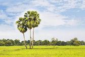 Sugar palm with rice field — Stockfoto