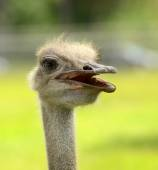 Rhea head closeup — Stock Photo
