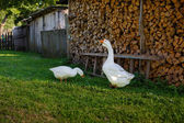 Two geese in a village — Stock Photo