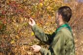 Scout checking autumn berries on a bush — Stock Photo