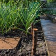 Onion plants growing in a spring garden — Stock Photo #74804681